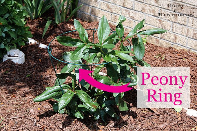 Tips on how to grow peonies. Everything from soil conditions to USDA Plant Hardiness Zones to ants. Includes how to cut peonies for flower arrangements.