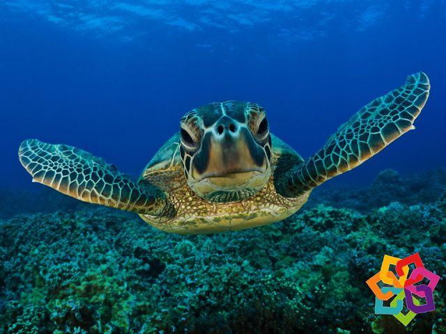MICHOACÁN MÁGICO. ¿Le gustaría ser testigo de uno de los eventos naturales más hermosos del país? En los próximos meses, las costas michoacanas se engalanan con la llegada de las tortugas marinas que buscan en las playas del pacífico un lugar para anidar. Le invitamos a visitar las hermosas playas del estado de Michoacán para disfrutar de esta maravilla que la naturaleza nos ofrece. HOTEL DELFÍN PLAYA AZUL http://www.hoteldelfinplayaazul.com/portal/