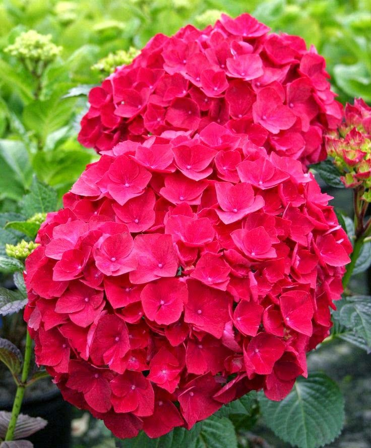 1000 ideas about pink hydrangea on pinterest blue for Color changing roses