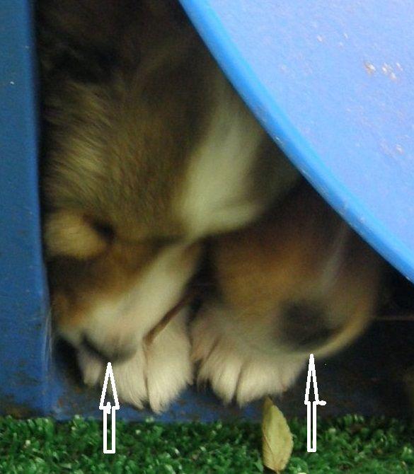 Texas Sheltie Breeders Sheltie Pups Shetland Sheepdog Puppy Lockehill Shelties Puppy Page In 2020 Sheep Dog Puppy Sheltie Puppy Shetland Sheepdog Puppies
