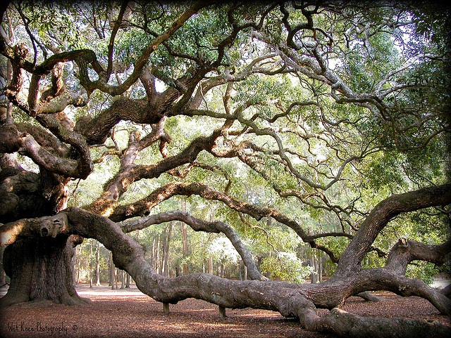 The ultimate climbing tree!  This is what they look like in Centennial Park, Sydney...so beautiful.