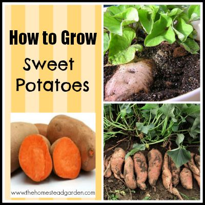 How to Grow Sweet Potatoes // this would be awesome, but I fear it's too much maintenance for my garden!