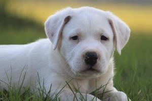 Thaddeus is an adoptable Dogo Argentino Dog in Orlando, FL. Thaddeus is an argentinian Mastiff pup. He is only 8wks old and is already proving to grow over 100 pnds! Thaddeus is very social. You will ...