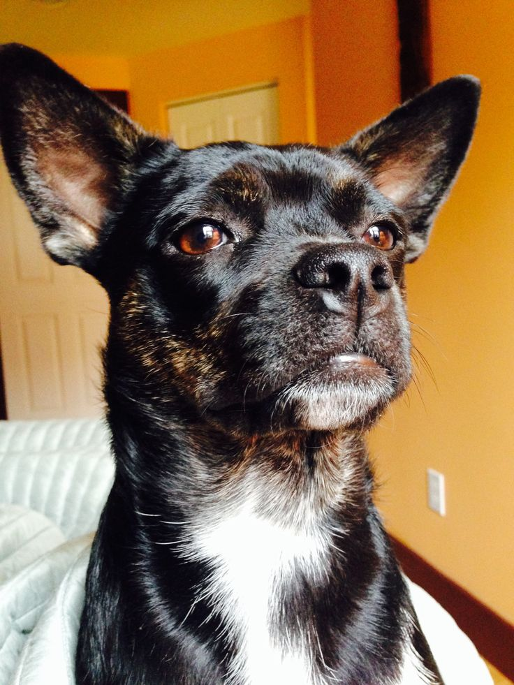 boston terrier and chihuahua 44 best bo chi boston terrier chihuahua mix images on 8746