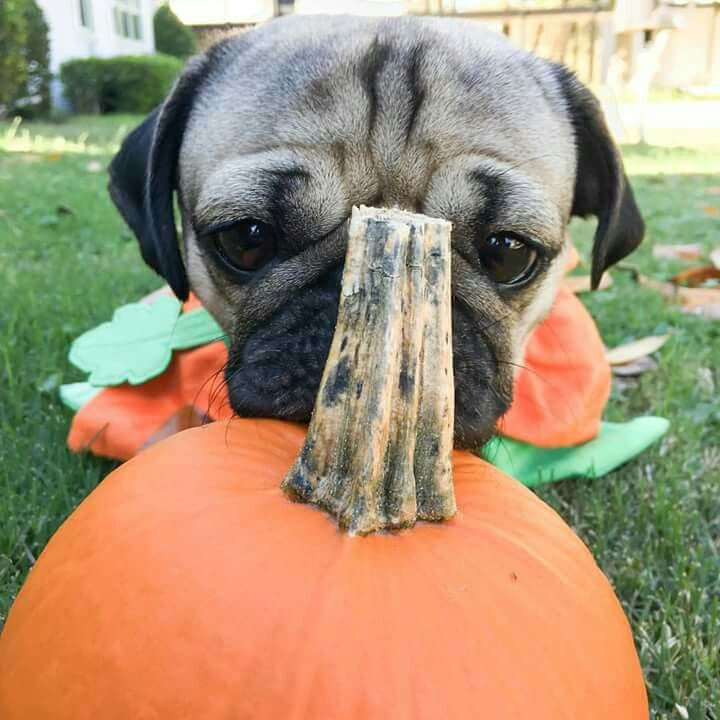 doug the pug - Pugs Halloween