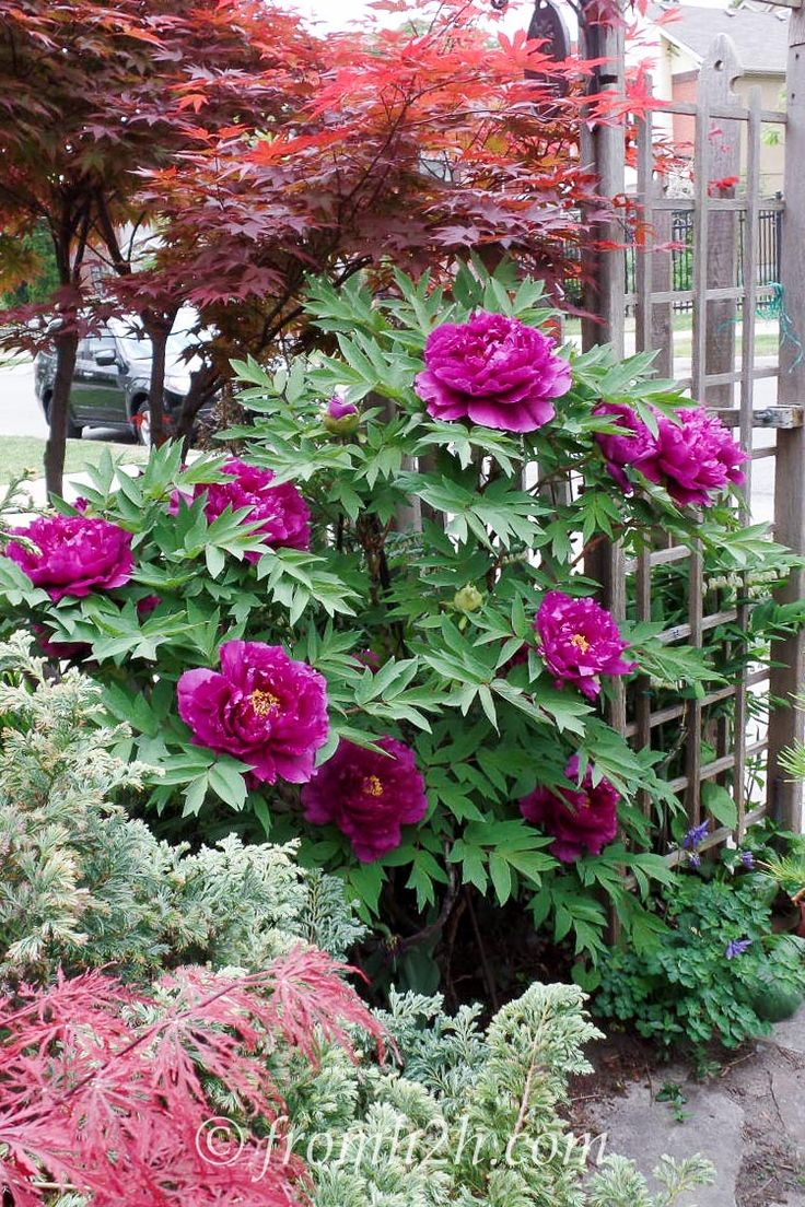Japanese tree peony Pluto likes sun to dappled shade. Giant plate sized flowers. Pretty purple.
