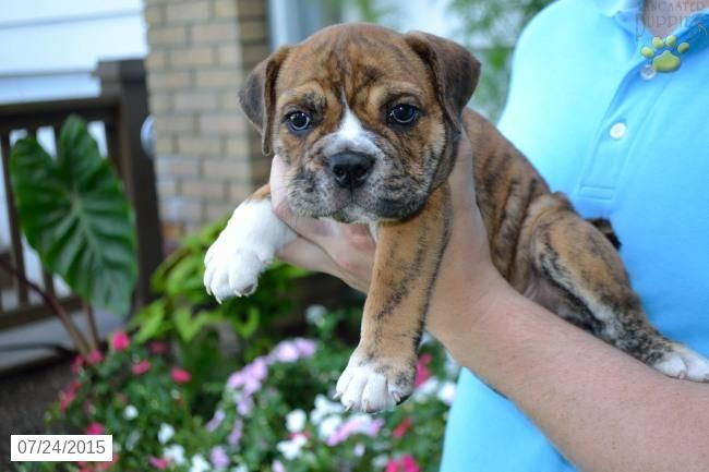English Bulldog Puppy For Sale In Ohio Puppies For Sale English