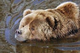 Обои Медведи Бурые Медведи Вода Животные