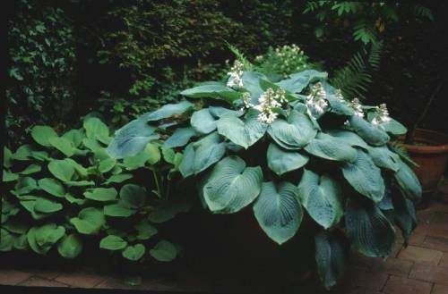 Hosta sieboldiana Elegans - X Large Blue Green Hostas - White Blooms - (One of my largest Hostas)