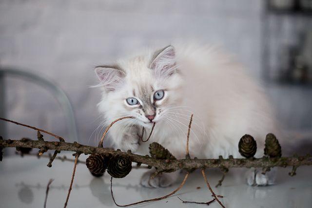 Leia, kitten 13- week- old, neva masquerade blue tabby, a 21 33 #nevamasquerade