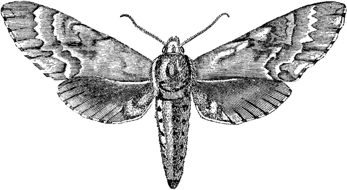sphinx moth science fair project
