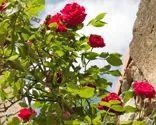 En Bricomanía os enseñamos la poda de los rosales. La técnica de la poda de rosales así como sus cuidados ymantenimientopara queturosal este fuerte y vigoroso todo el