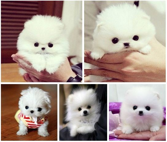 https://www.facebook.com/leovandesign  #pomeranian #dog #white #cute #puppy
