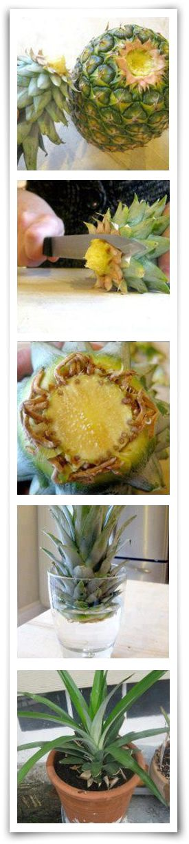 How to re-grow pineapple
