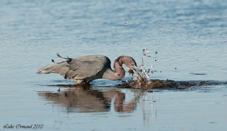 1-Küçük mavi balıkçıl (Egretta caerulea)  balık avlarken