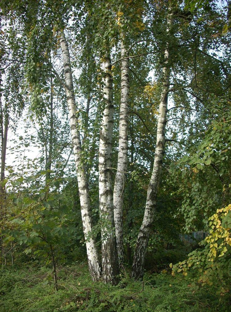 Breza (Betula) - miazga je voda, ktorú korene ťahajú zo zeme a filtrujú ju a obohacujú o živiny. Tečie intenzívne do pukov v marci - preto v mnohých staroslovanských jazykoch marec je pomenovaný podľa brezy - aj v češtine či v ukrajinčine. Je to sladká šťava, cenná a zdraviu prospešná. Obsahuje množstvo vitamínov a minerálnych látok (K, Ca, Mg, Mn, Cu a FE, vitamín C, aminokyseliny). Má detoxikačné účinky, omladzuje, pomáha pri chudnutí. Používa sa proti anémii, artritíde, dne, reumatizme a…