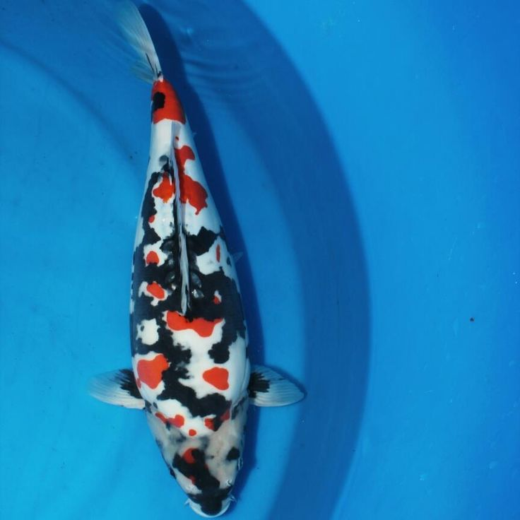 43 best showa koi images on pinterest koi carp showa for Carpe koi b