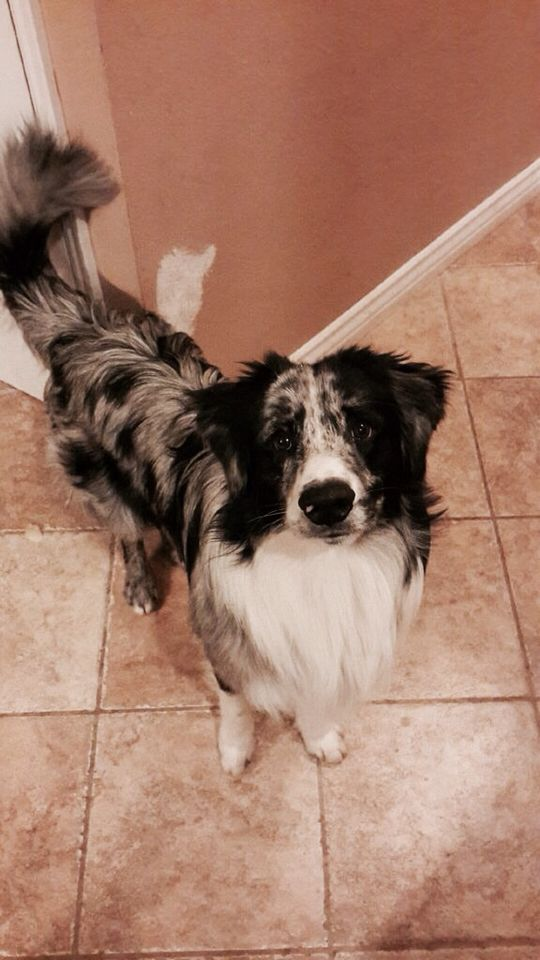 Australian Shepard and border collie mix. Jase❤️