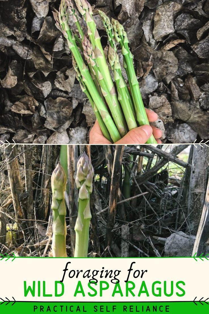 Asparagus Officinalis Wild Flower Wild Plant In Nature Blooms In Spring Affiliate Wild Flower Asparagus Officin In 2020 Wild Flowers Wild Plants Flowers