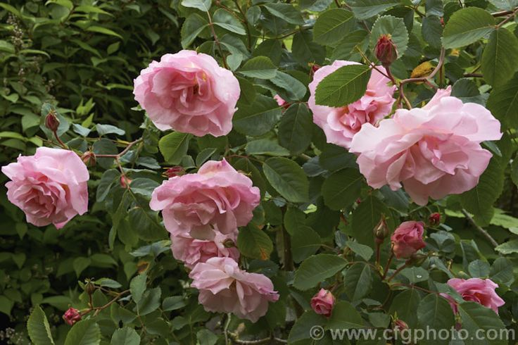 Rosa 'Capitaine John Ingram', a fragrant, compact Damask Moss bush raised by Laffay of France in 1854.