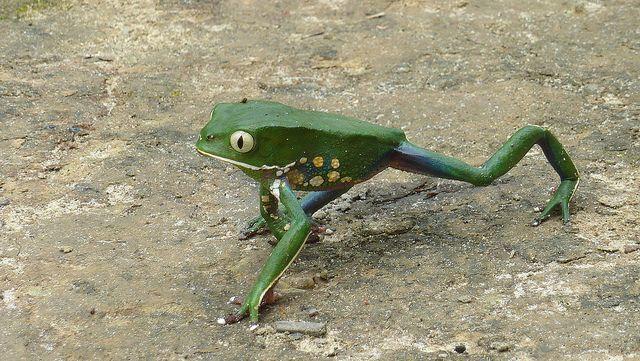 A strolling Phyllomedusa bahiana (leaf frog) (2010) photographed by Alex Popovkin in Bahia, Brazil. via the photographer on flickr