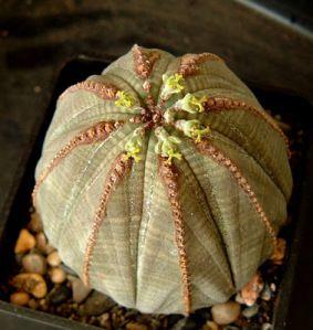 Tanaman Bola Baseball Euphorbia Obesa Tanaman ini adalah tanaman endemik di daerah Great Karoo, Afrika Selatan. Karena bentuknya yang lucu, banyak penggemar tanaman akhirnya mengambil tanaman ini dan mengkoleksinya, sehingga populasinya rusak berat. Akhirnya tanaman ini dilindungi oleh pemerintah Afika Selatan.Oktober | 2011 | ebhirazaituni