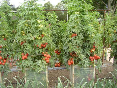 Chutné rajčiny aj bez skleníka? Pomôžu vám k tomu lacné klimatizačné bunky