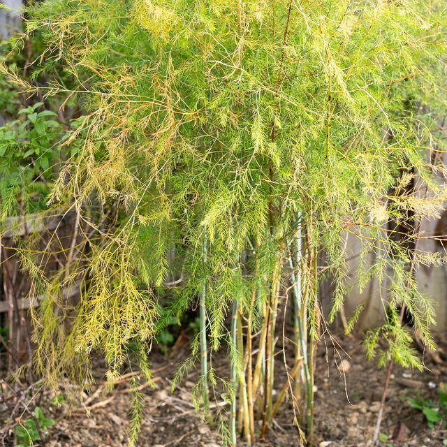 How to Prepare Asparagus Plants for the Winter