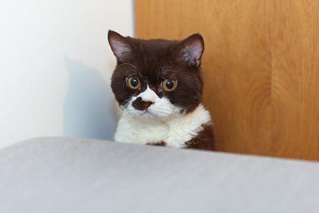 グラフィックデザイナーとして、広告や書籍、雑誌『GINZA』などで活躍する田部井美奈さんは、愛猫・だんごさんと暮らしています。くるりんとカールしたクセっ毛がキュートなだんごさんの魅力について伺いました。   クセっ毛の猫に一目惚れ ー猫と暮らすことになったきっかけは? 「ネットで里親募集サイトをみていた時に、セルカークレックスという巻き毛の猫がいることを知ったんです。昔から、トイプードルやワイヤーフォックステリアなどのクセっ毛のある動物が好きで、一目惚れしてしまって。画像を収集するため色々なサイトを見ているうちに、セルカークレックスのブリーダーさんがいることを知り、飼うことは考えていなかったのですが、可愛かったので半年くらい毎日観ていたんです。そこで子猫が生まれたのですが、ずっと残っている子がいたんですよね。それが、だんごさんでした」     ーなるほど。でもなぜ、飼う決断を?…