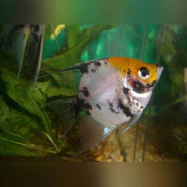 Koi Angelfish Angel Fish Tropical Fish Aquarium Freshwater Fish