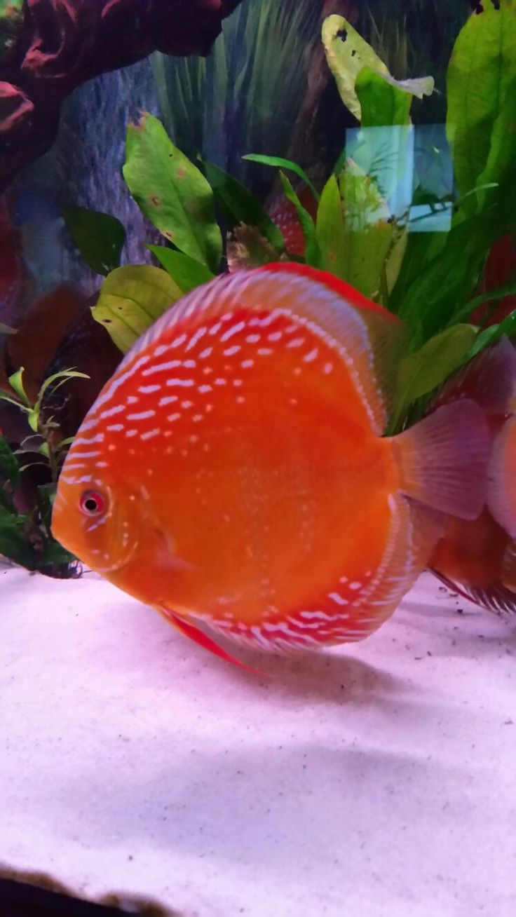 The 2075 best Discus Fish images on Pinterest | Beautiful fish, Fish ...