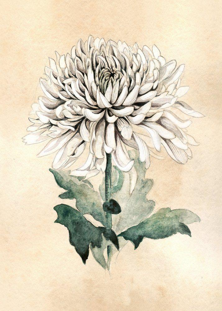 Image Of White Chrysanthemum Art Print Chrysanthemum Tattoo Flower Sketches Chrysanthemum Flower Tattoo