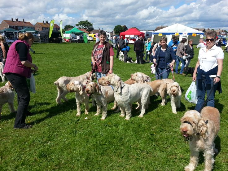 We count paws not feet!  Great to see packs of dogs turning out for the great north dog walk including these beautiful Italian Spinoneies. South Shields, South Tyneside.