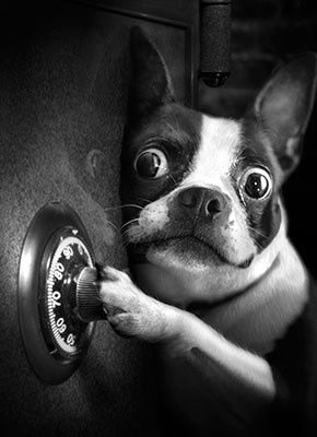 Dog Safe Cracker, Funny, Boston Terrier