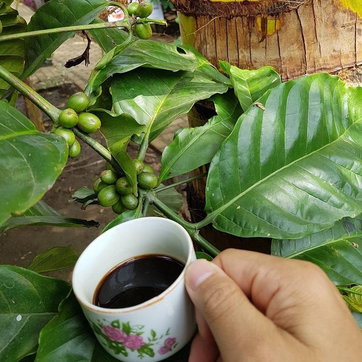 Proud to be part of these encouraging efforts to support #sustainable #coffee - from #croptocup (part 2)  @Regranned from @idh_indo - Exciting but challenging journey from #crop to #cup (part 2) to produce #sustainable #coffee (lessons-learnt from @idh_indo #PTAsalJaya and farmers from Amstirdam in Dampit Malang). 5. Good post-harvesting is key to ensure quality of good coffee. Comprehensive efforts incl. sorting of #greenbeans to identify defects are not an easy job.  6. Strengthening…