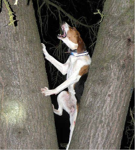 treeing walker couonhound photo | Dog Training Home | Dog Types: Treeing Walker Coonhound Dog Breed