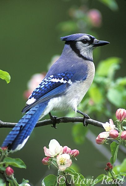 Blue Jay (Cyanocitta cristata) perched amid apple blossom in spring, New York, USA