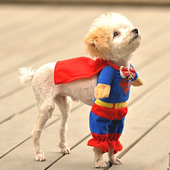 Its a bird, Its a plane...: Small Dogs, Halloween Costumes, Dogs Costumes, Pet, Dogs Outfits, Super Heroes, So Funny, Little Dogs, Superhero
