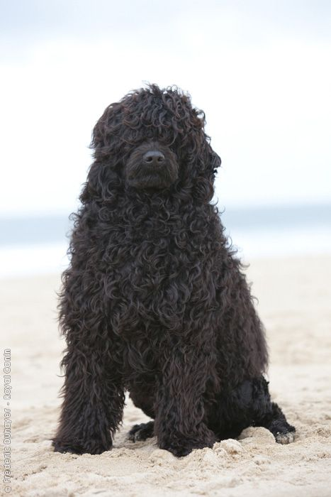 Portuguese Water Dog.  This is what my Ollie would look like if we didn't keep his hair short.