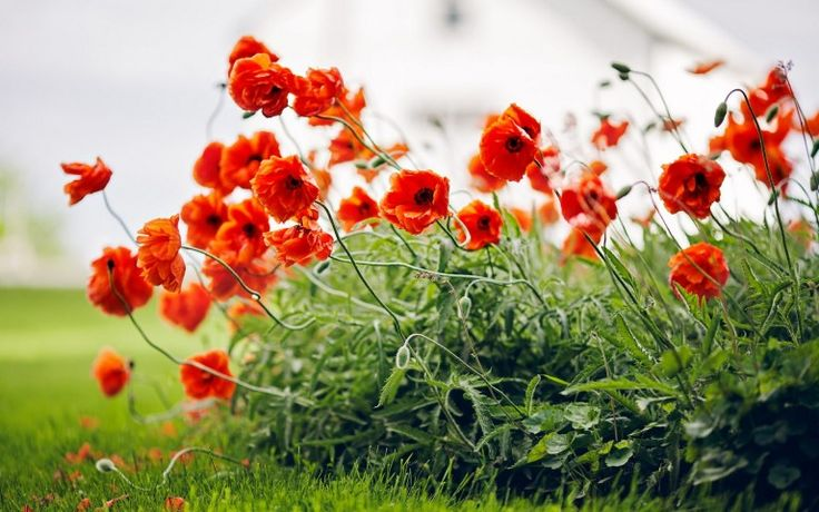 Poppy Plant and Red Flowers Wallpaper