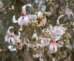 Moringa Baum selber pflanzen anbauen