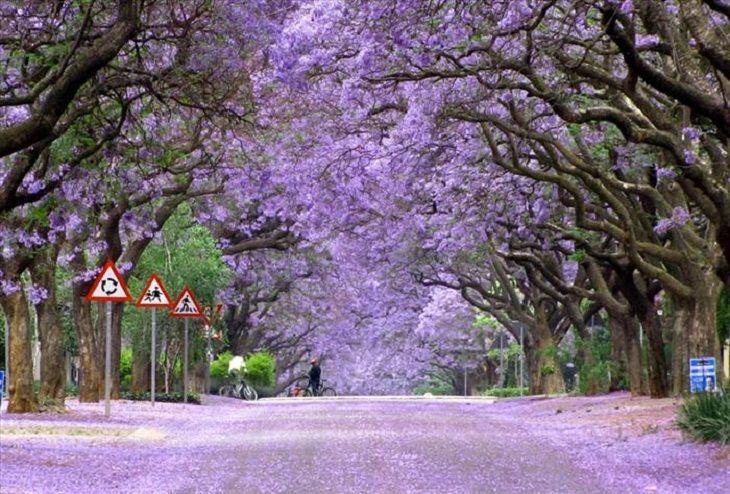 Trees - Beauty - Nature Jacaranda trees, South Africa