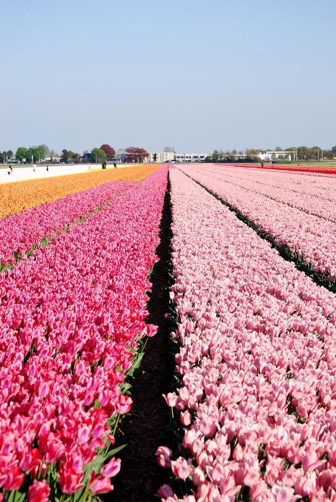 Keukenhof - Pink Tulips