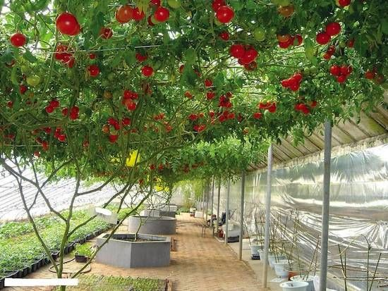WTS ∙ Do Tomatoes Grow on Trees?