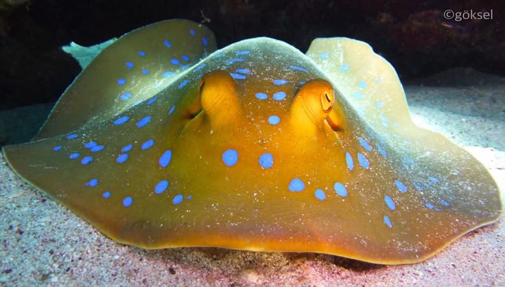 The bluespotted ribbontail ray (Taeniura lymma) is a species of stingray in the Andaman sea of Thailand!