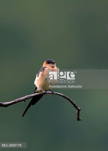 Red-rumped Swallow - Hirundo daurica, Greece