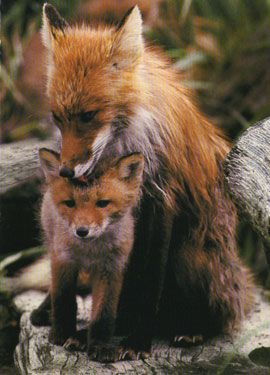 baby red fox - Google Search