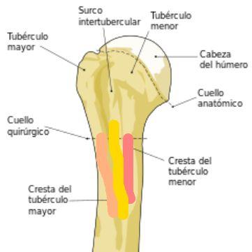 Corredera bicipital del húmero y la localización de la inserción de ...