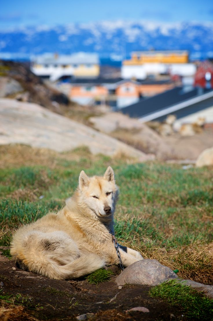 Mission North | Photographer Pernille Westh | Greenland Dog, Sled Dog photographed in Greenland... A moment from my ongoing project about the North · Do you love to photograph dogs? Get my 5 FREE basic dog photography tips; http://pw5383.wixsite.com/photographytipsdogs
