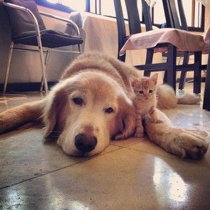 They've been practically attached at the fuzzy hip ever since they were introduced. | This Golden Retriever And Rescued Kitten Will Sweeten Up Your Instagram